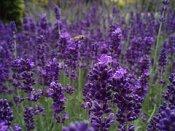 Lavender in the Herbal Tea Garden