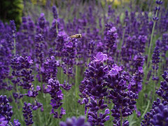 Lavender in the Herbal Tea Garden
