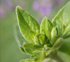 Marjoram in the Herbal Tea Garden