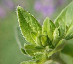 Marjoram in the Herbal Tea Garden