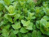 Peppermint in the Herbal Tea Garden