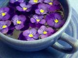 Violets in the Herbal Tea Garden